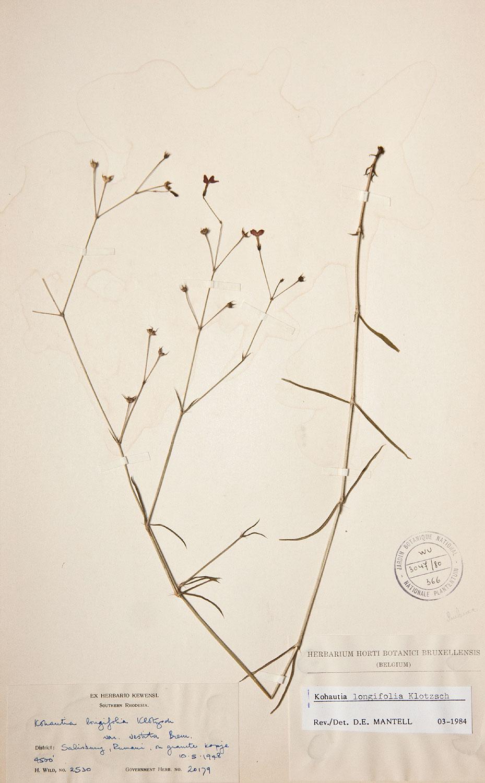 Cordylostigma longifolium