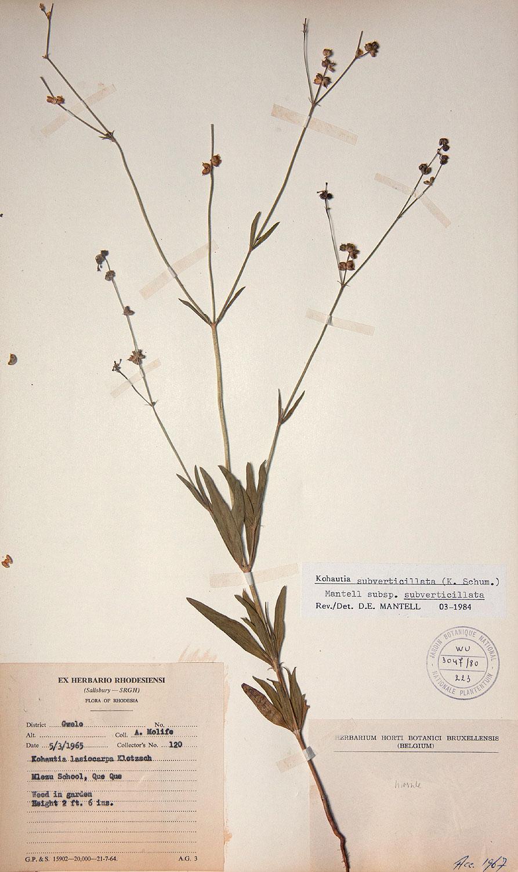 Kohautia subverticillata subsp. subverticillata