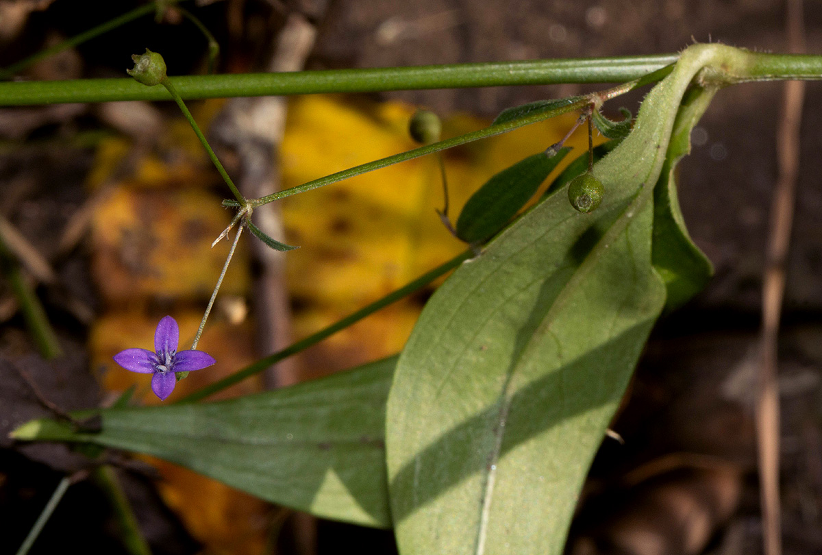 Oldenlandia affinis var. fugax