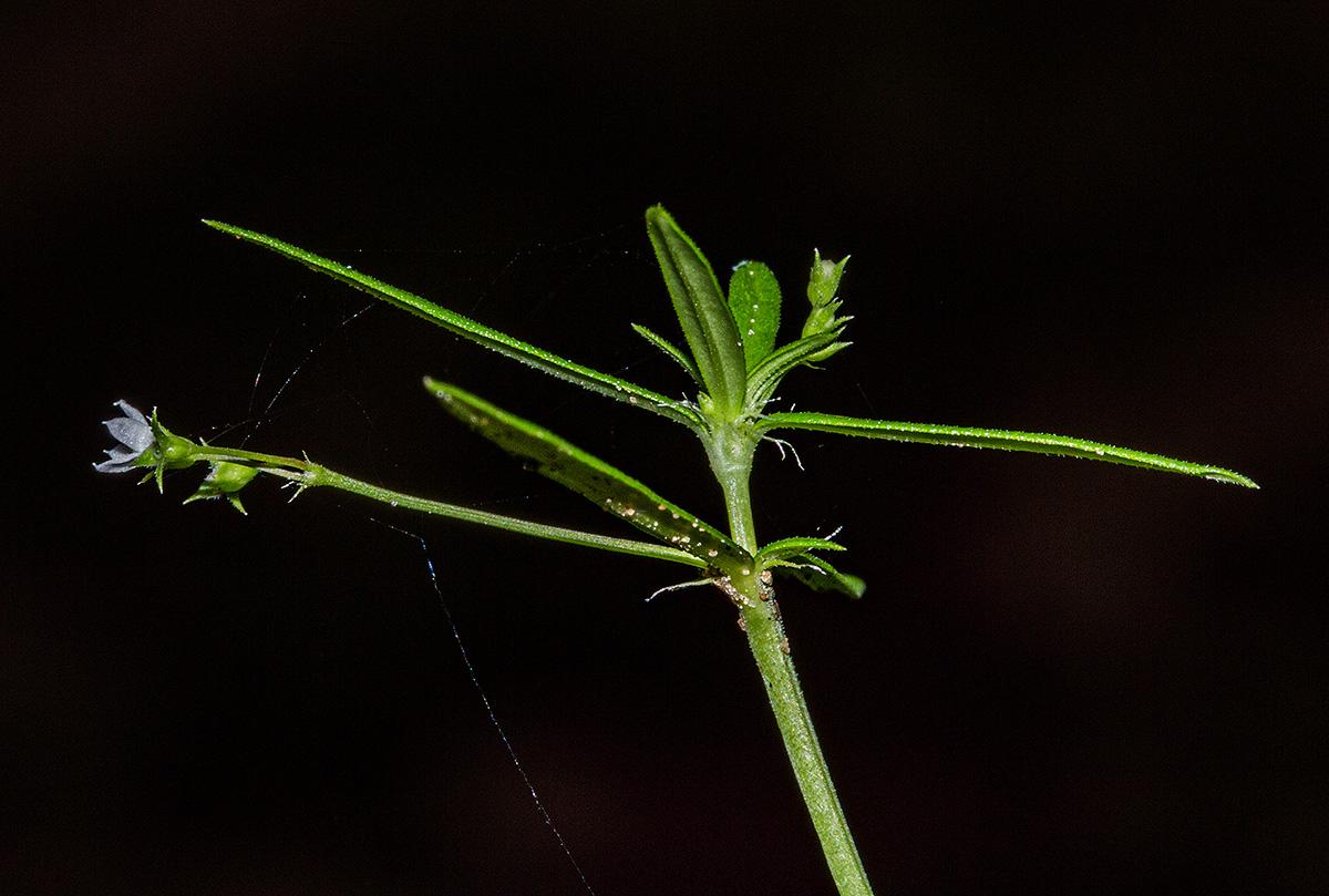 Oldenlandia corymbosa var. corymbosa