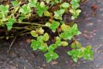 Oldenlandia goreensis var. goreensis