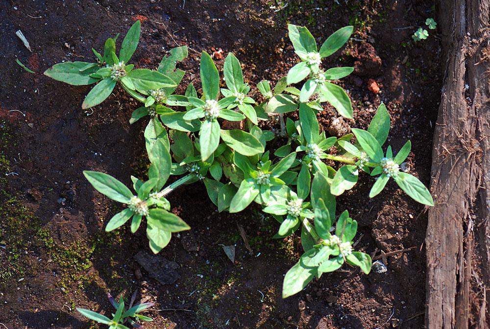 Oldenlandia goreensis var. trichocaula