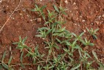 Oldenlandia lancifolia var. scabridula
