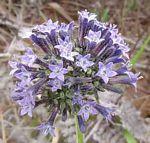 Pentas purpurea subsp. purpurea