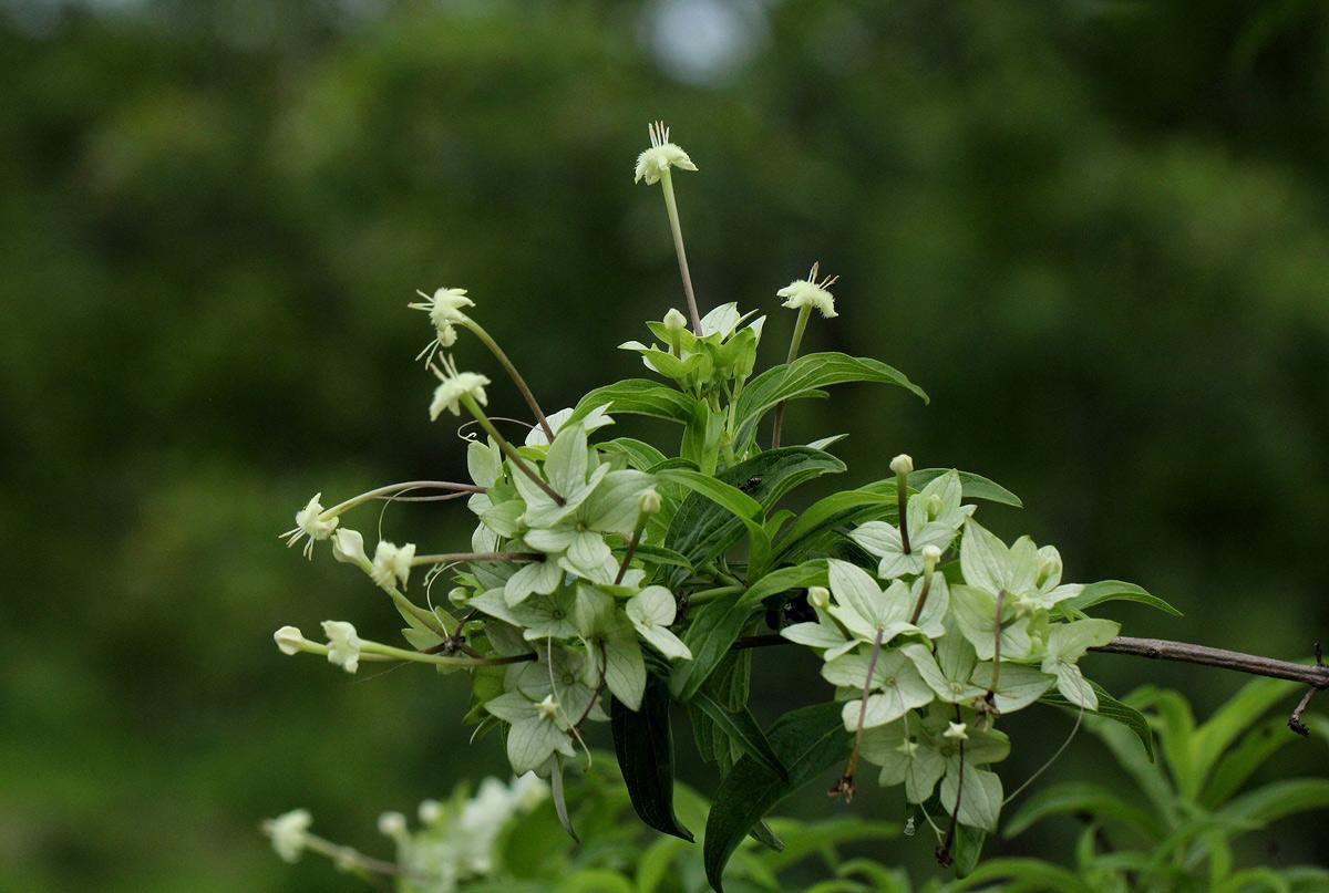 Carphalea pubescens