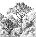 Hymenodictyon floribundum