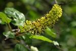Hymenodictyon parvifolium subsp. parvifolium