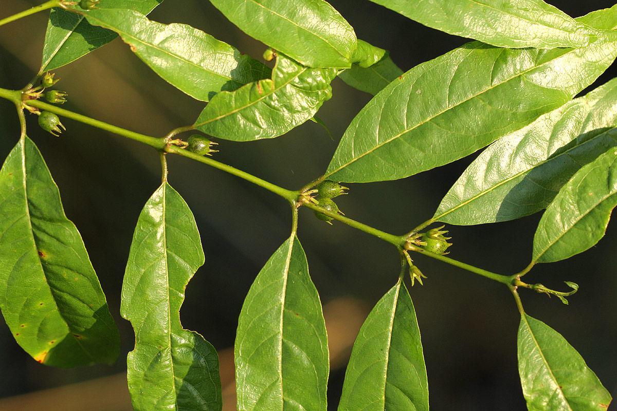 Pauridiantha symplocoides