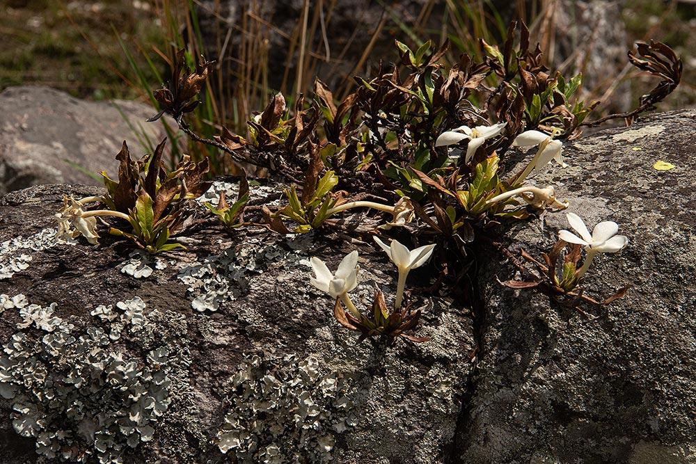 Leptactina benguelensis subsp. pubescens