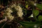 Coptosperma neurophyllum