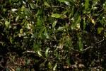 Tarenna pavettoides subsp. affinis