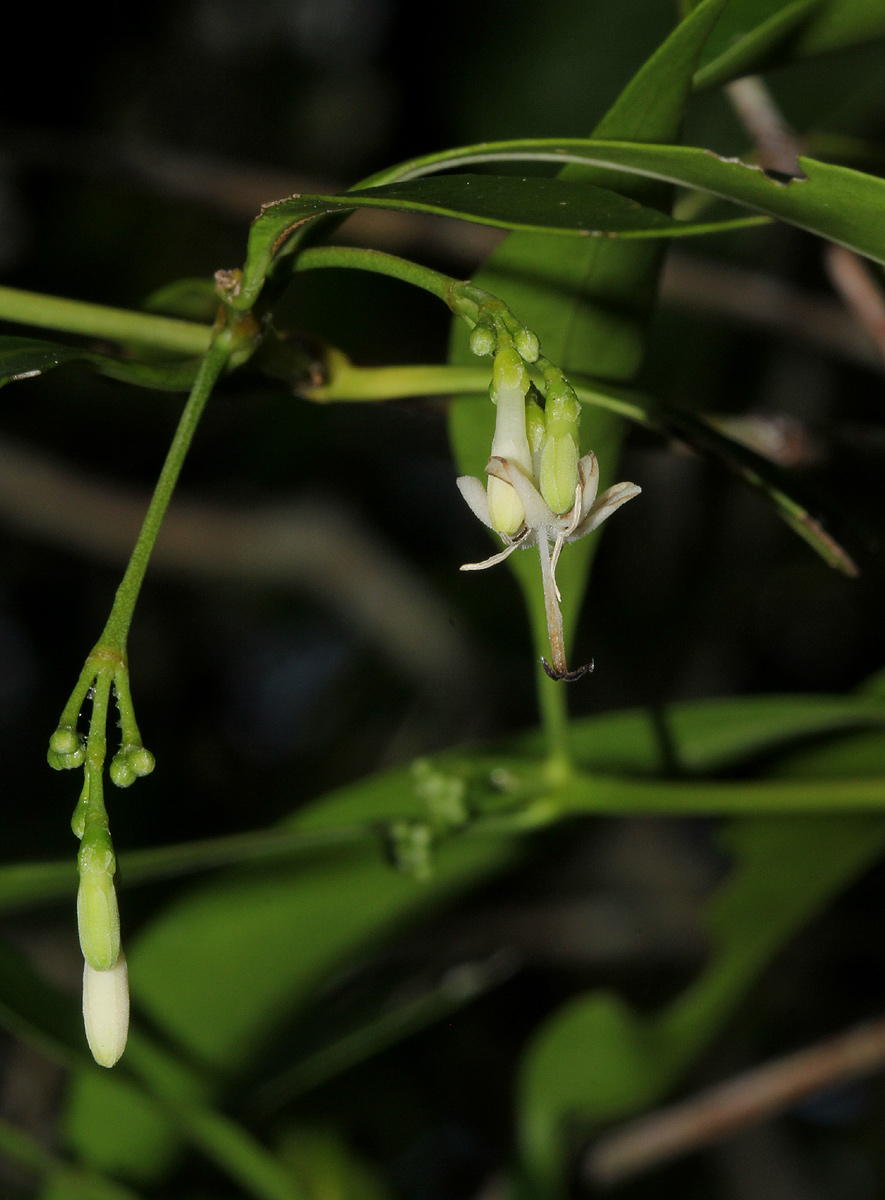 Coptosperma supra-axillare