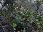 Gardenia imperialis subsp. imperialis