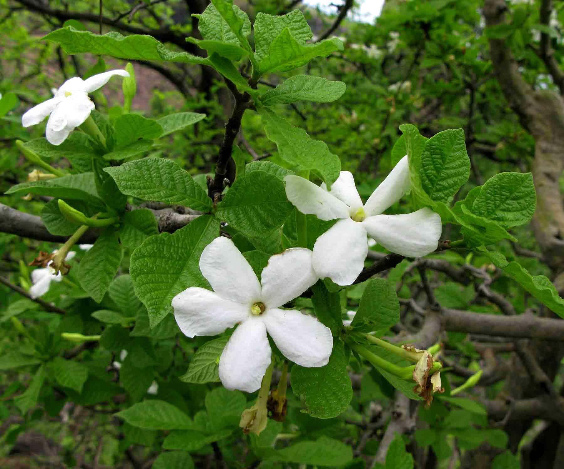 Gardenia resiniflua subsp. resiniflua