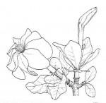 Gardenia ternifolia subsp. jovis-tonantis var. jovis-tonantis