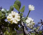 Gardenia ternifolia subsp. jovis-tonantis var. goetzei