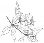 Rothmannia fischeri subsp. fischeri
