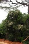 Rothmannia manganjae