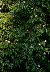 Rothmannia urcelliformis