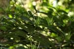 Oxyanthus goetzei subsp. goetzei