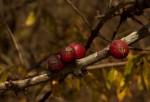 Feretia aeruginescens