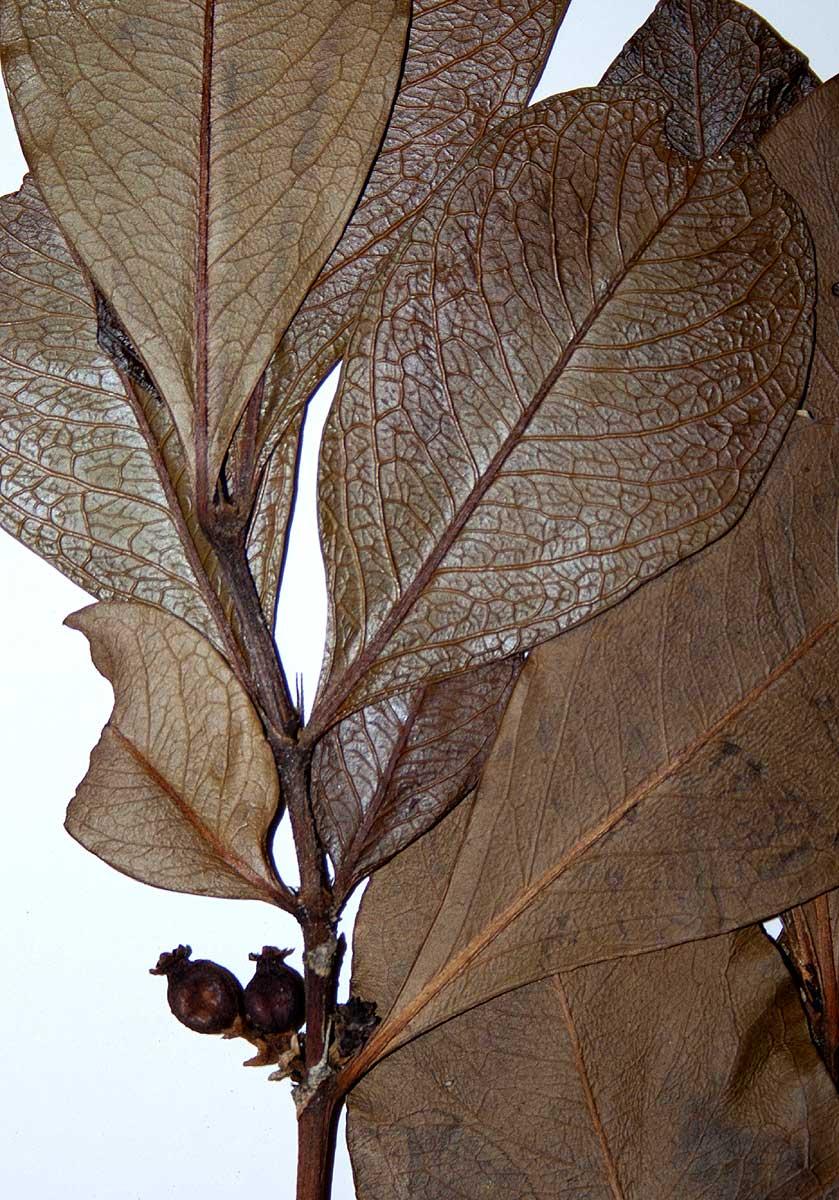 Empogona cacondensis