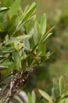 Tricalysia coriacea subsp. angustifolia