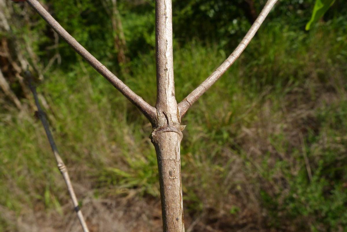 Tricalysia delagoensis