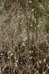 Tricalysia jasminiflora var. jasminiflora