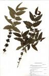Empogona kirkii subsp. junodii