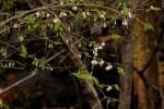 Empogona kirkii subsp. kirkii