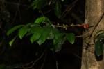 Tricalysia pallens