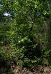 Heinsia crinita subsp. parviflora