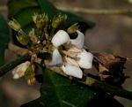 Heinsenia diervilleoides subsp. diervilleoides