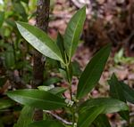 Polysphaeria lanceolata var. lanceolata