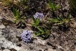 Pentanisia sykesii subsp. otomerioides
