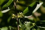 Vangueria randii subsp. randii