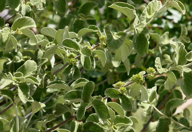Tapiphyllum velutinum