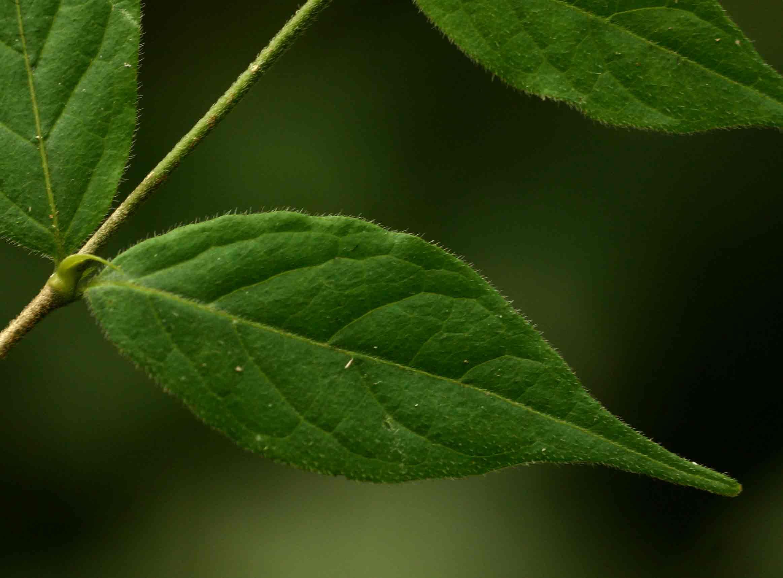 Rytigynia macrura
