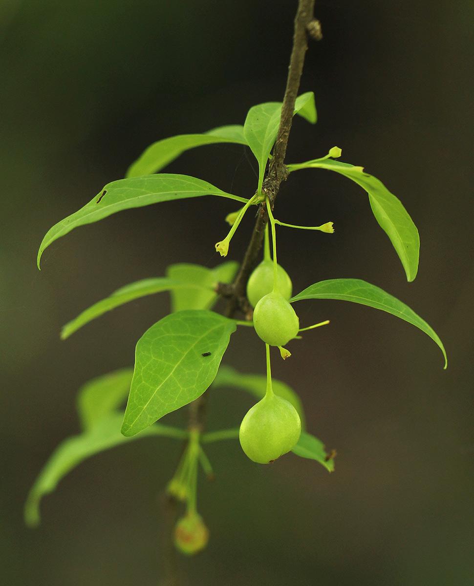 Canthium glaucum subsp. frangula var. frangula