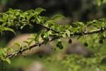 Canthium glaucum subsp. frangula var. pubescens
