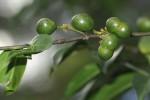 Canthium oligocarpum subsp. angustifolium