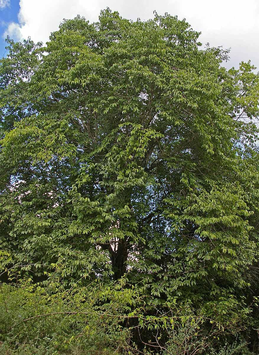 Afrocanthium racemulosum var. racemulosum