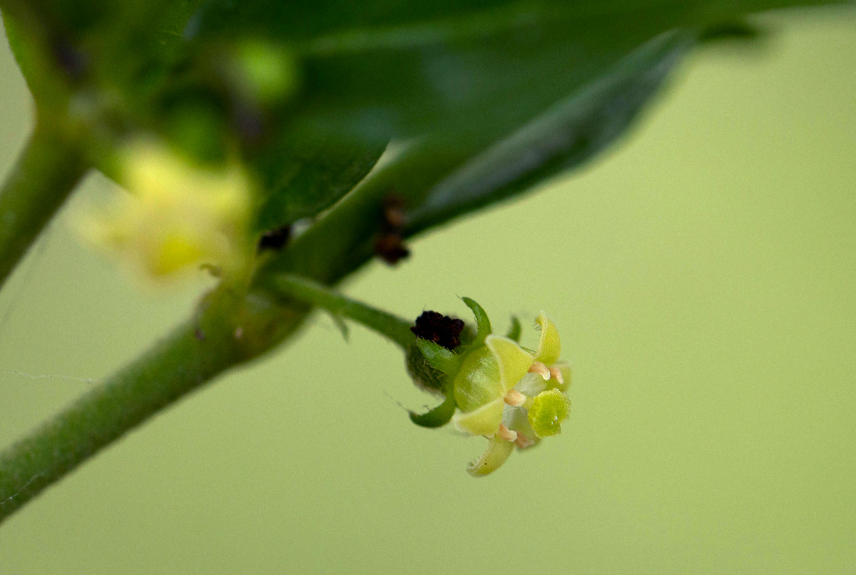 Bullockia setiflora