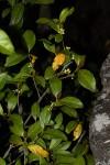 Pyrostria bibracteata