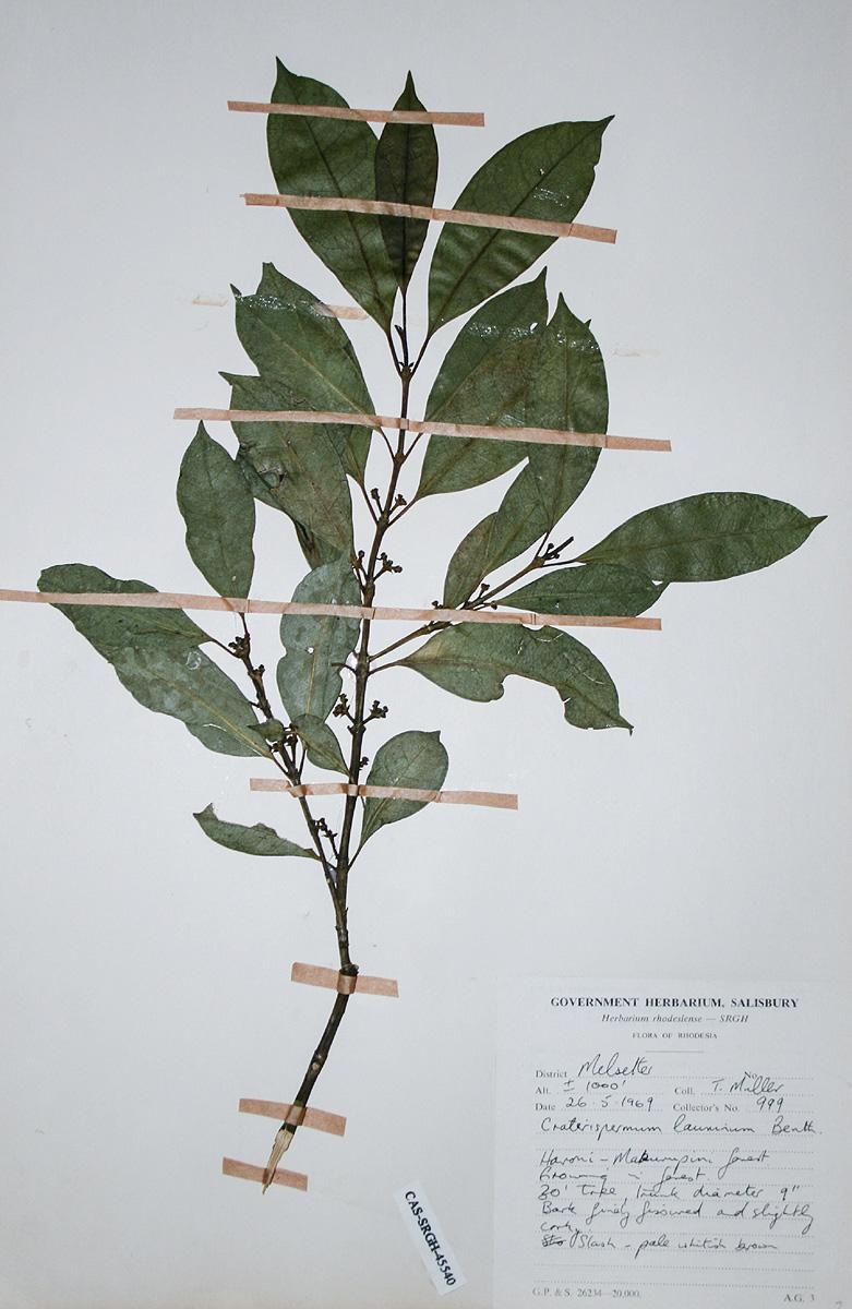 Craterispermum schweinfurthii