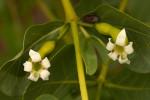 Fadogia ancylantha