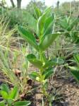 Fadogia stenophylla subsp. odorata