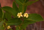 Fadogia tetraquetra var. tetraquetra
