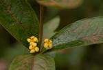 Fadogia tetraquetra var. grandiflora